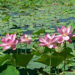 Lotus et bouche cossue…