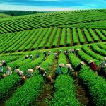 Au Vietnam, la culture du thé se hisse toujours au premier rang…